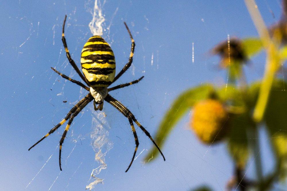отличный паук в желтую полоску фото вам хотя